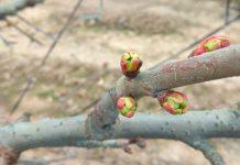 Potencial de producción y la importancia de la floración y cuaja en árboles de cerezos