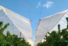 Comprueban que uso de cobertores plásticos de baja densidad en cerezos aumenta su calibre para exportación