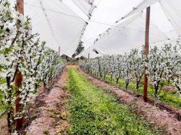 En un 83% aumentó el volumen de venta de cerezas
