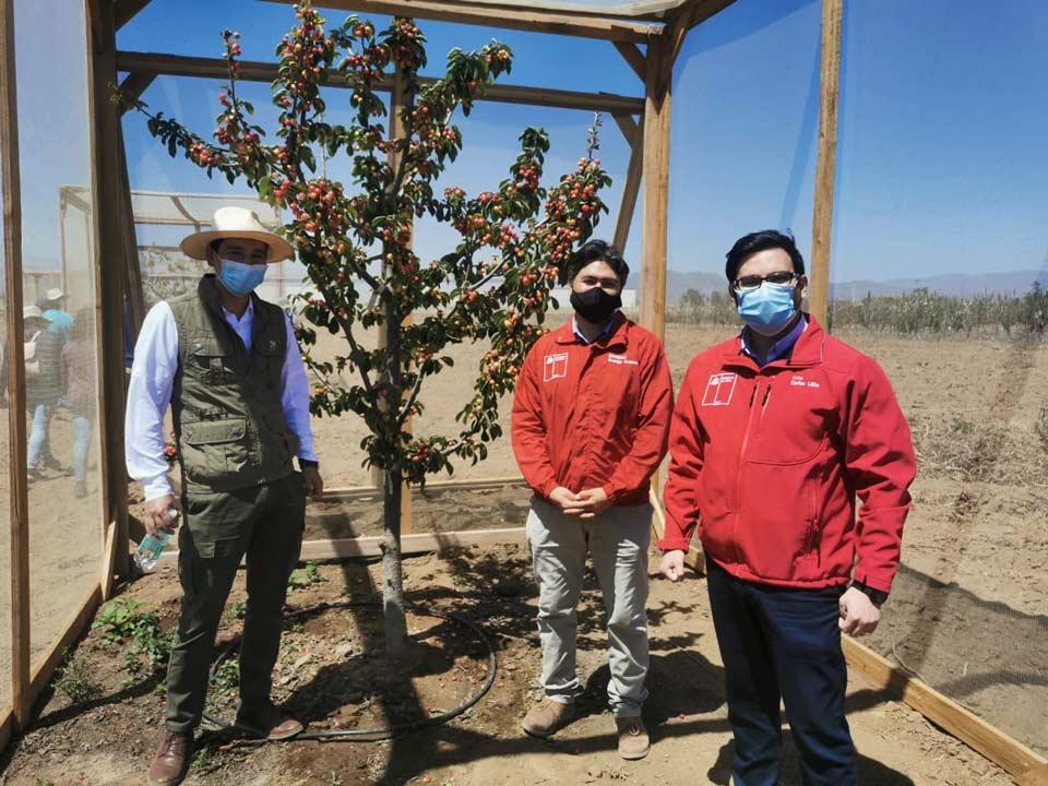 INIA busca generar variedades de cerezos adaptables a las condiciones climáticas del Norte