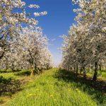 Cómo realizar un proyecto exitoso de una plantación de cerezos