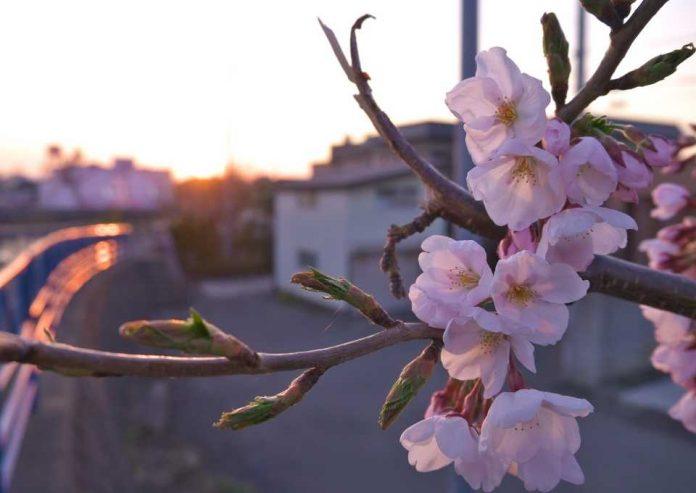 Estados fenológicos del cerezo 1