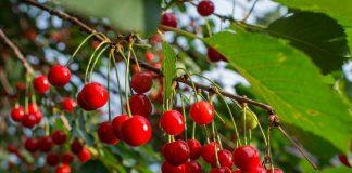 EE.UU.: Se espera aumento en las importaciones de cerezas chilenas esta temporada